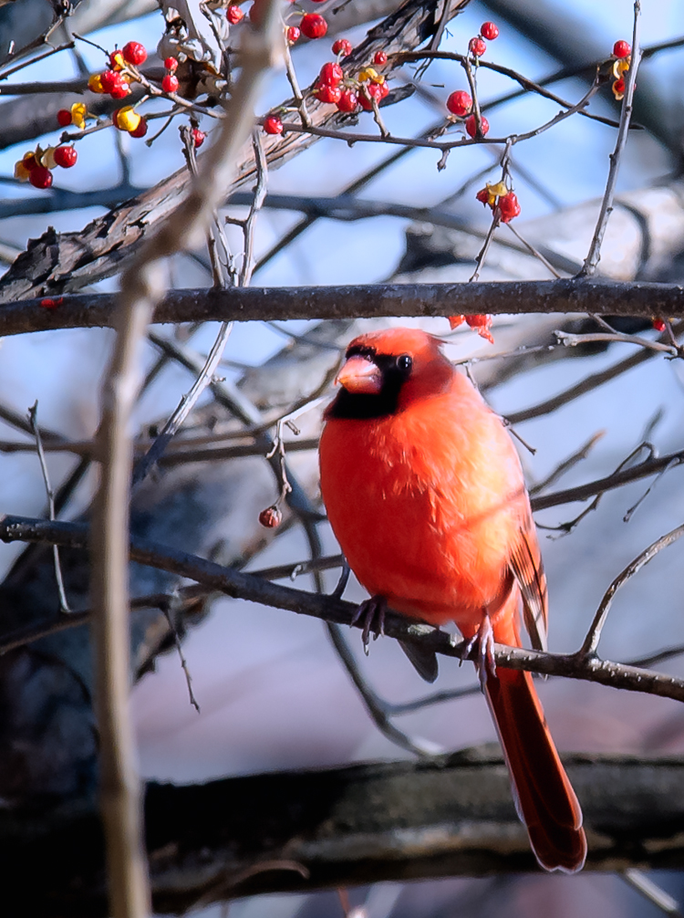 Cardinal In The Park