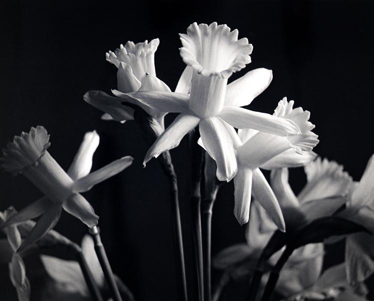Blog750_63_20080108_Daffodils2